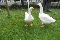The Geese of Goosey Fair